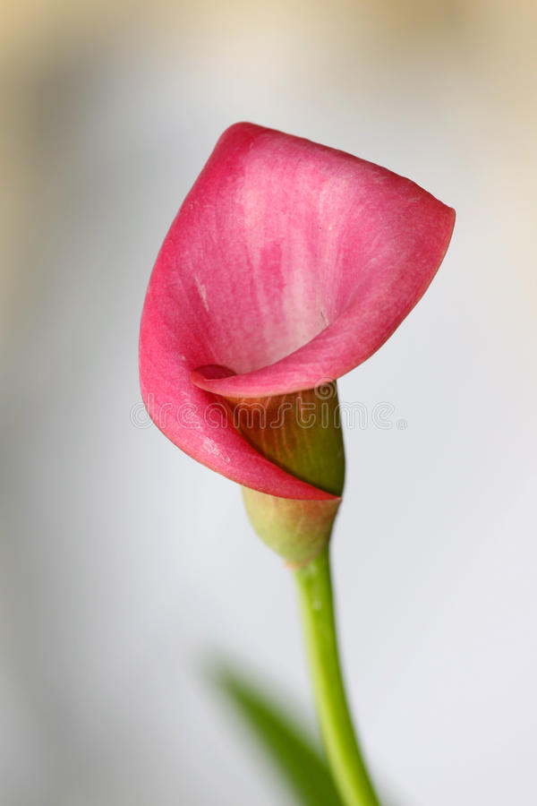 Pink calla lily. Flower with soft focus stock images