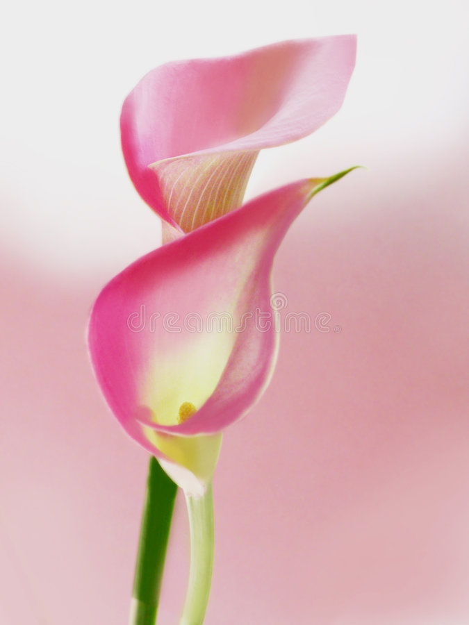 Pink callas. Two pink callas flowers in soft focus for a romantic pink touch. Its botanical name is Zantedeschia but is also commonly named Arum Lily or Calla stock photo
