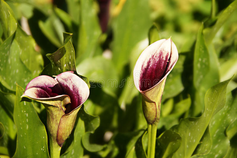 Pink callas flowers. In the Botanical Garden royalty free stock photography