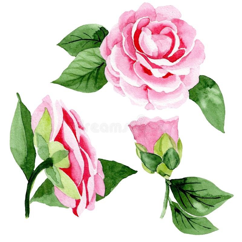 Pink camellia floral botanical flowers. Watercolor background illustration set. Isolated camellia illustration element. Pink camellia floral botanical flowers royalty free stock image
