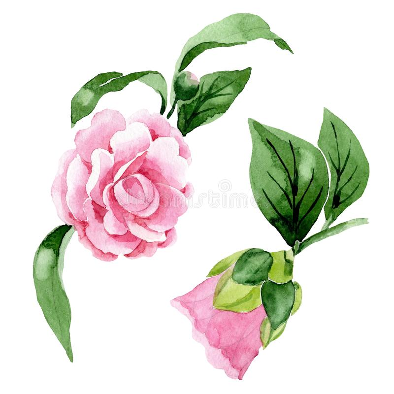 Pink camellia floral botanical flowers. Watercolor background illustration set. Isolated camellia illustration element. Pink camellia floral botanical flowers royalty free stock photo