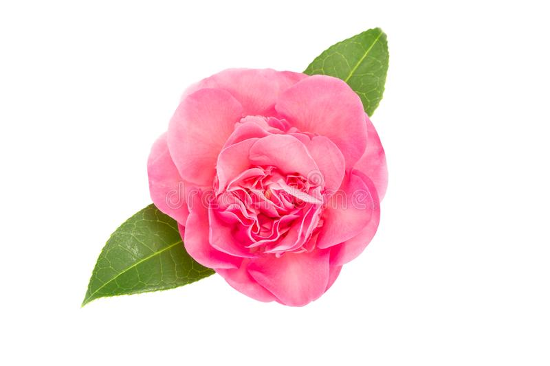 Pink camellia flower isolated on white background royalty free stock photos