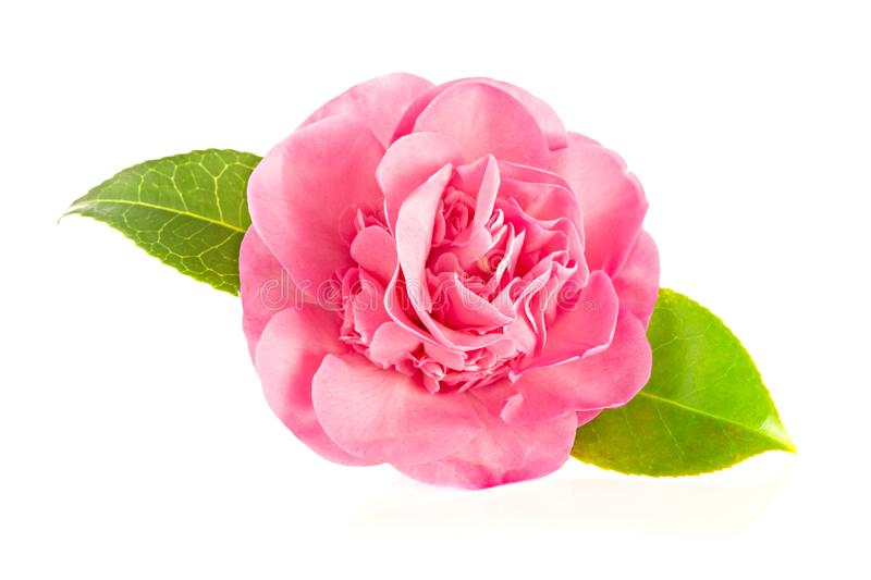 Pink camellia flower isolated on white background stock photography