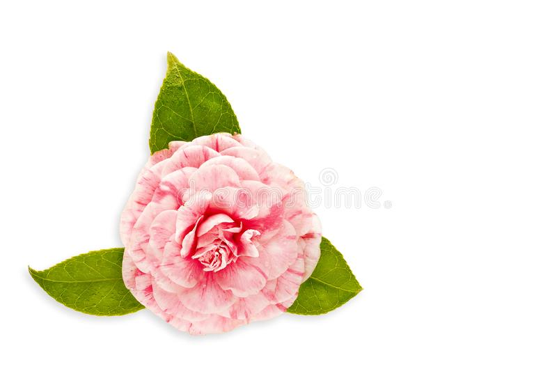 Pink camellia flower isolated on white background. With copy space for card, invitation, greeting stock images