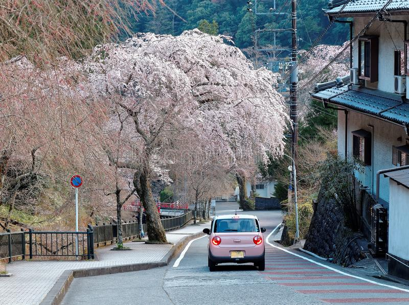 A pink car driving on a curvy country road under a flourishing cherry blossom tree Sakura in Minobu, Yamanashi, Japan. ! Spring scenery of a beautiful weeping stock photography