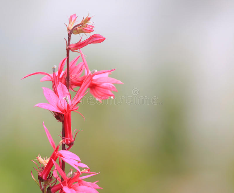 Pink Cardinal flower royalty free stock images