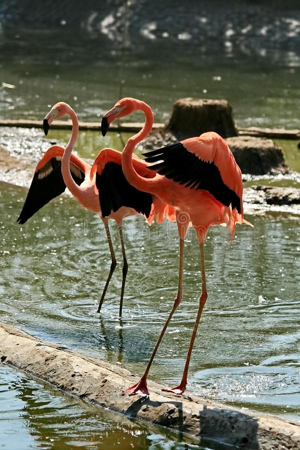 Pink Caribbean flamingo lat. Phoenicopterus. Flamingo dance. Beauty, grace, a special charm and uniqueness of flamingos. stock image