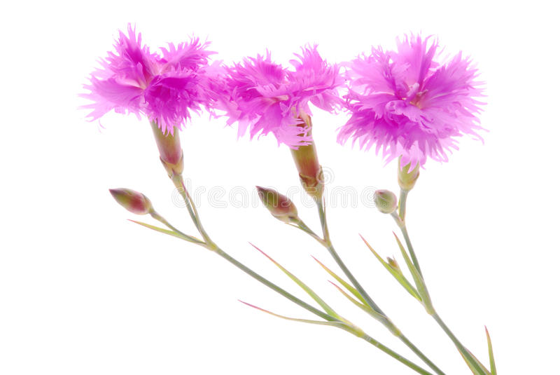 Pink carnation. Flowers with white background stock image
