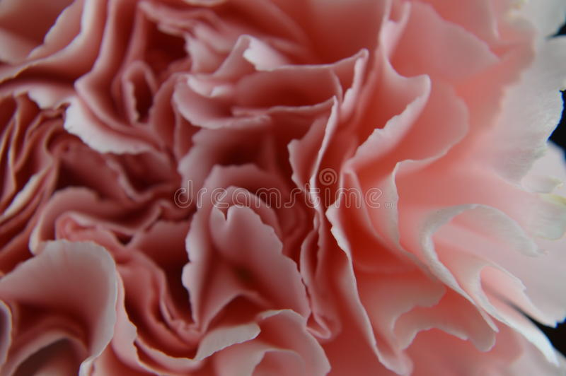 Download Pink carnation close up stock photo. Image of flora, botany - 84143102