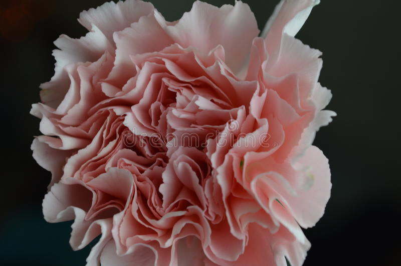 Pink carnation closeup royalty free stock photography