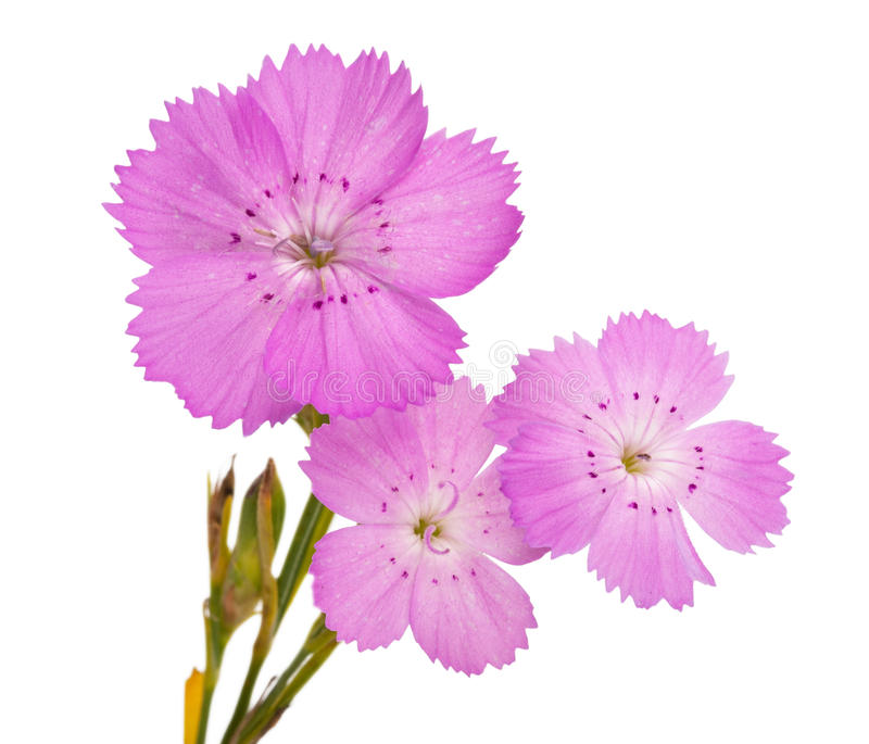 Pink carnation Dianthus carthusianorum flower. On white background stock images