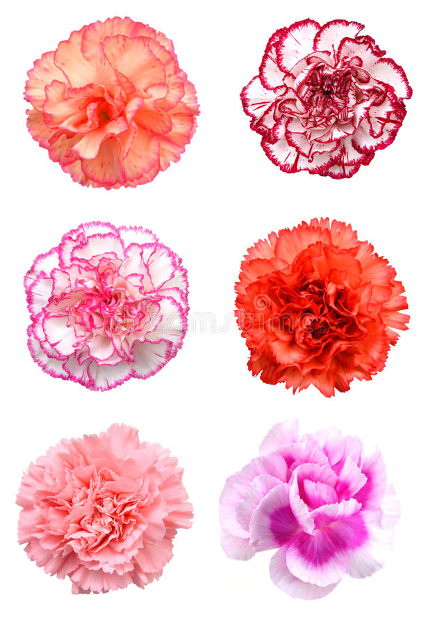Pink carnation flower. Beautiful pink carnation flower isolated on white background royalty free stock image