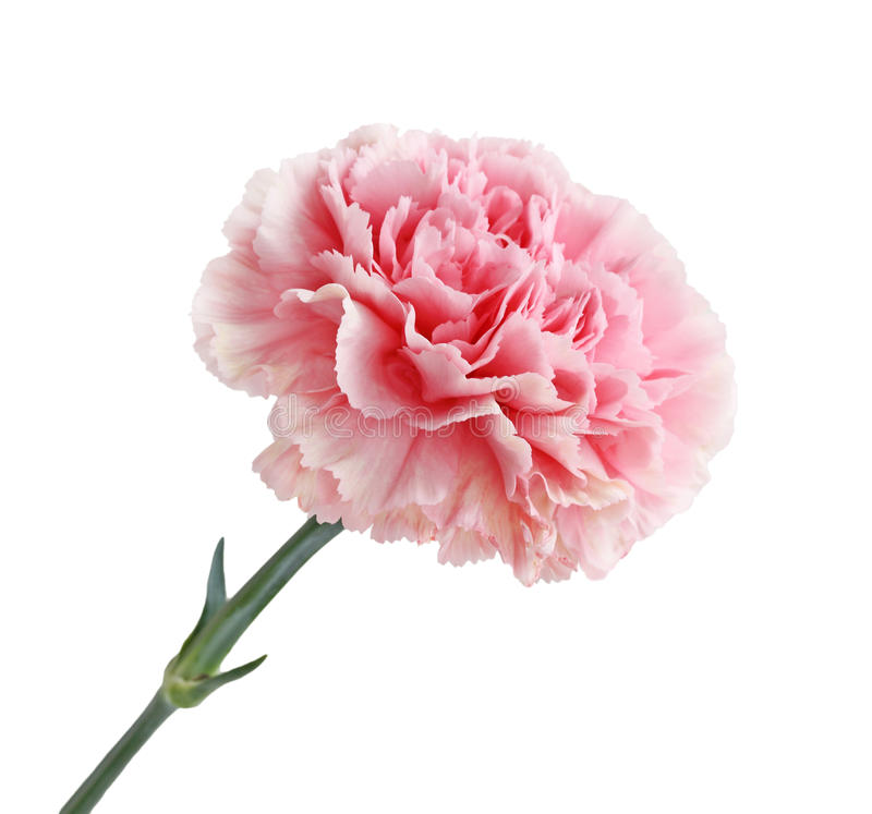 Pink Carnation Flower stock photo