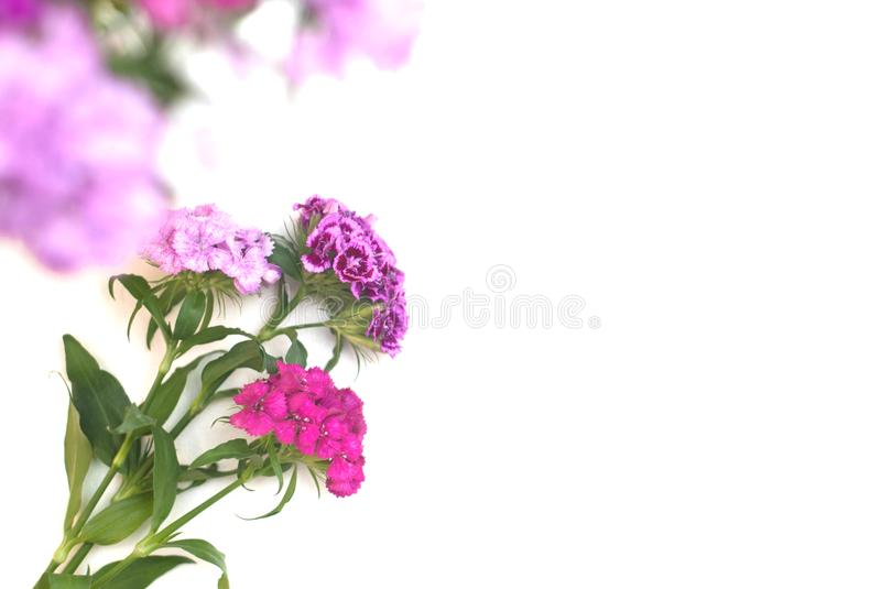 Pink Carnation Flower Isoalted on White Bouquet. Floristic Arrangement Greetin Card. Pink Carnation Flower Isoalted on White Bouquet. Floristic Arrangement royalty free stock photo