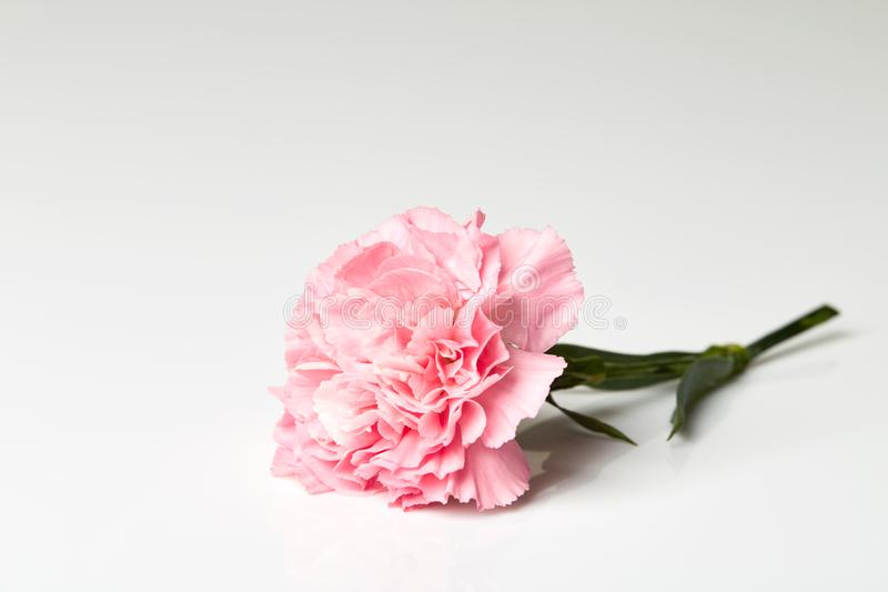Pink carnation flower on white. Pink carnation flower isolated on white background stock photo