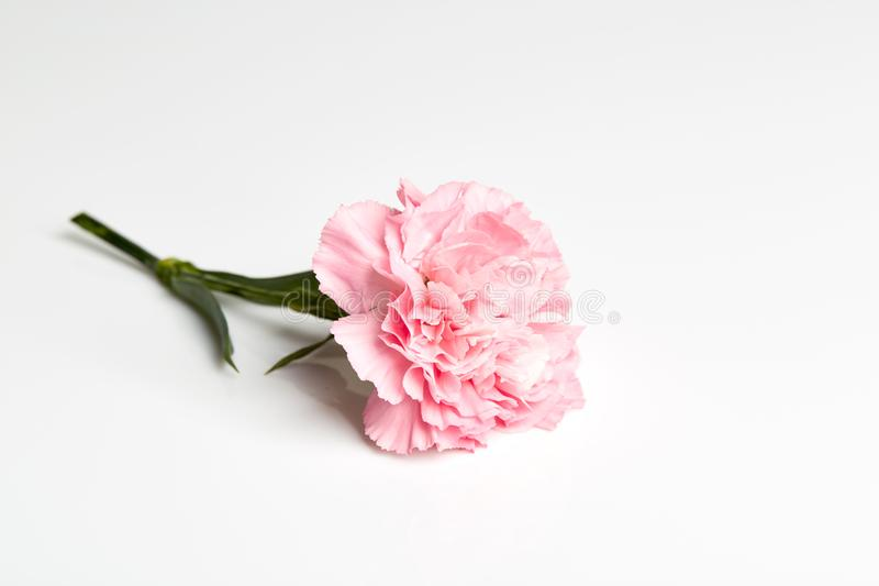 Pink carnation flower on white. Pink carnation flower isolated on white background royalty free stock images