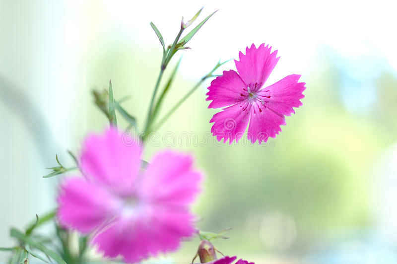 Pink carnation flowers. Pink carnation flowers on blue sky background stock photo