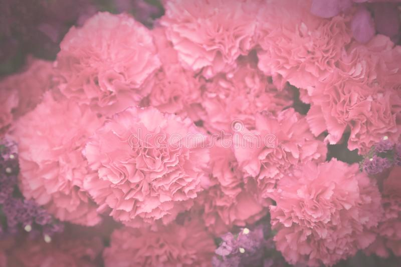 Pink carnation flowers, dark vintage toned, soft selective focus stock photos