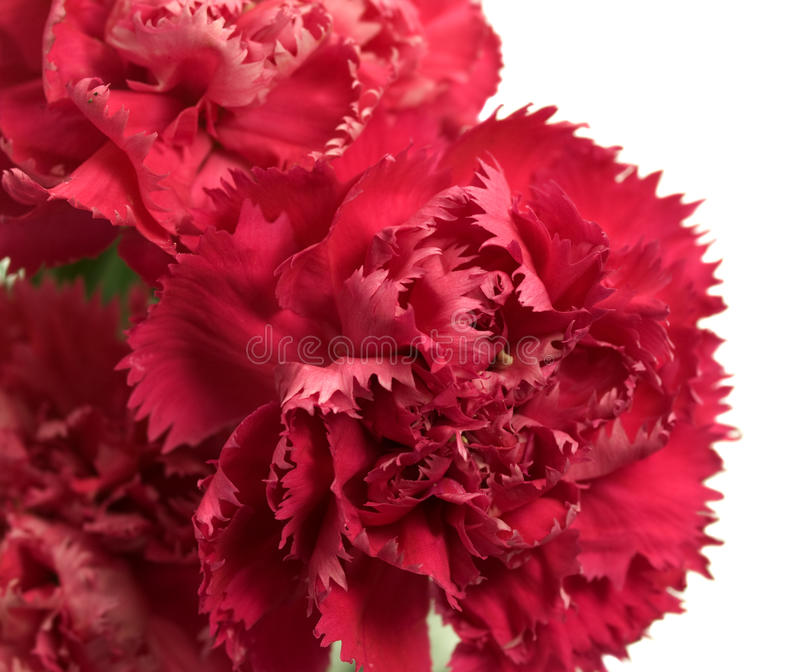 Pink carnation flowers Dianthus caryophyllus. Spring pink carnation flowers Dianthus caryophyllus in a bunch close up royalty free stock image