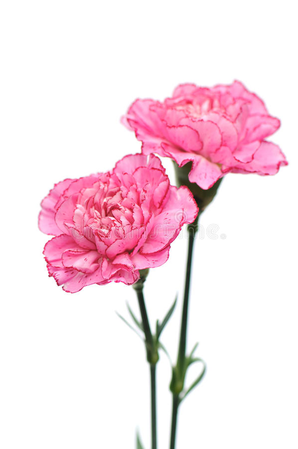 Download Pink Carnation Flowers On White Background Stock Photo - Image: 19449012
