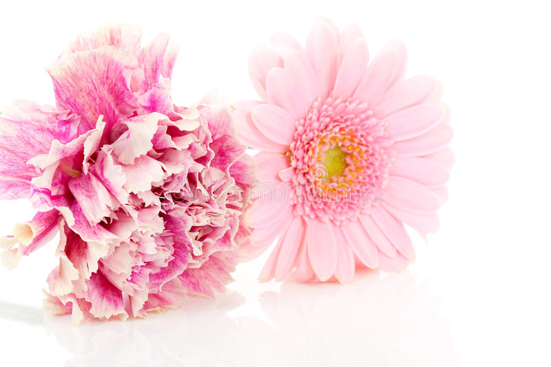 Pink carnation and gerber flowers. In closeup over white background royalty free stock images