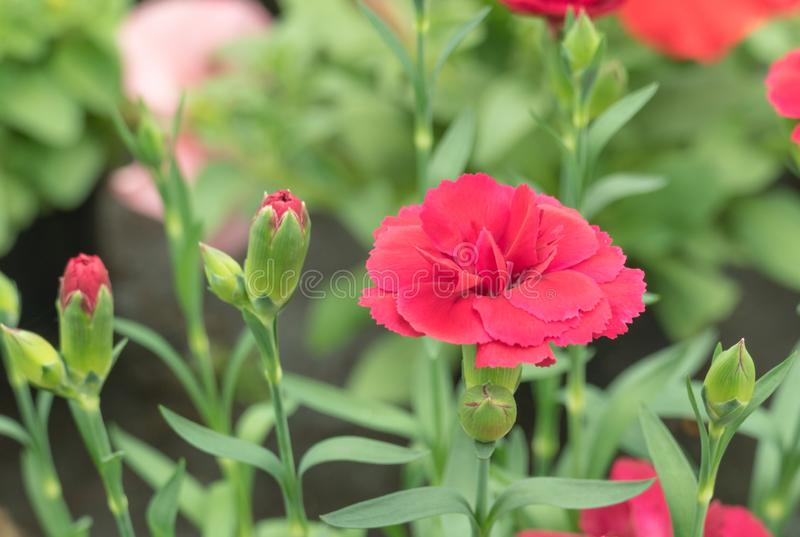 Carnation on plant daylight. Early flower of red carnation with buds around with daylight stock photography