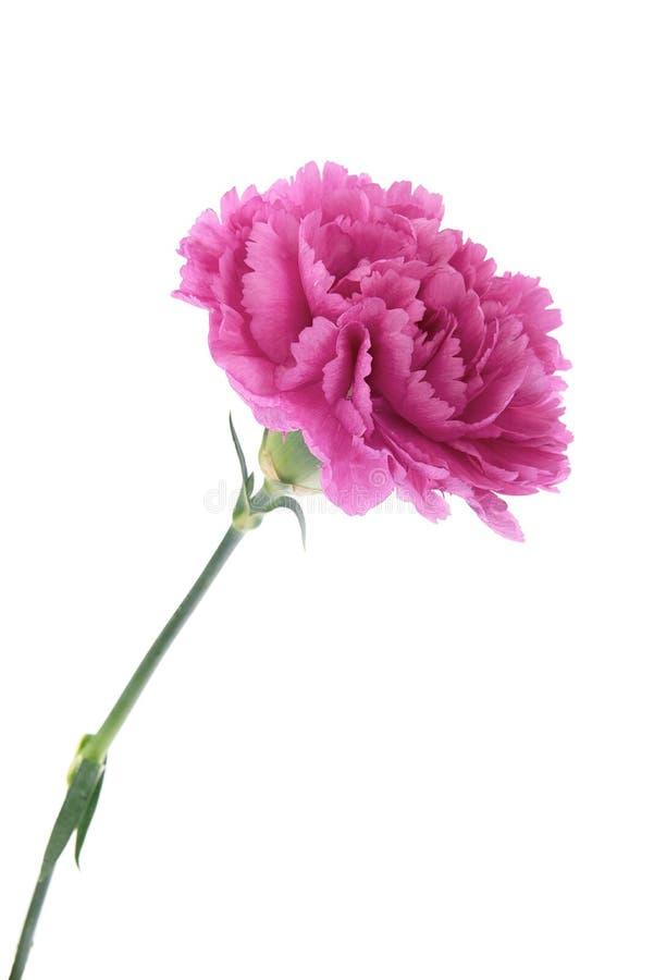 Free Pink Carnations Stock Photo - 35306370