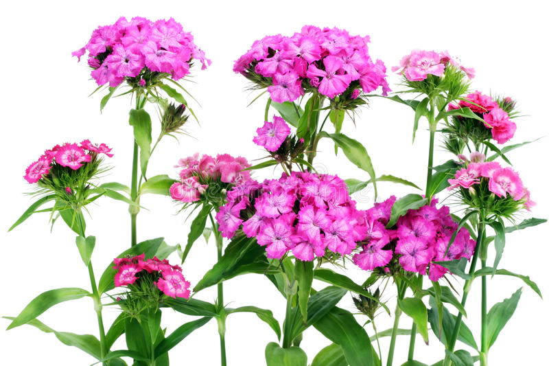 Pink carnations isolated stock photo