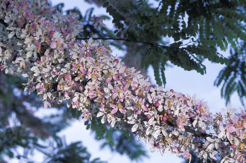 Pink cassia in bloom. Pink cassia (Cassia javanica). Tobago, West Indies stock image