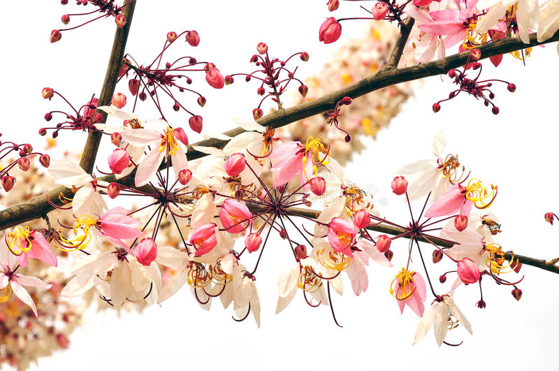 Pink cassia flower bouquet. In thailand royalty free stock photos