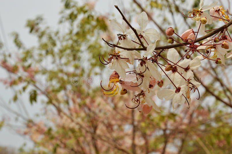 Pink cassia flower or wishing tree tropical plant blooming in garden stock photos