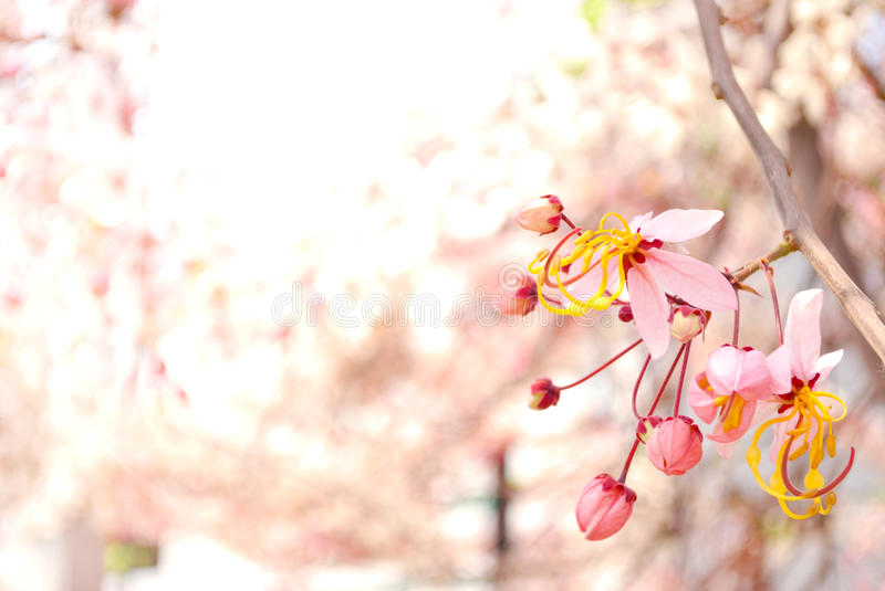 Pink Cassia Flowers Stock Photo Image 62397493