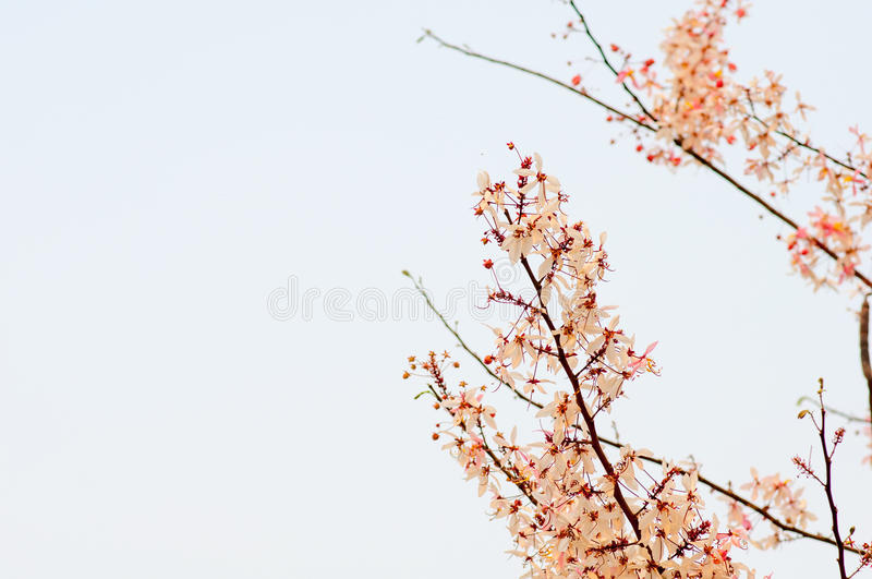 Pink cassia,pink shower tree and white sky royalty free stock photo
