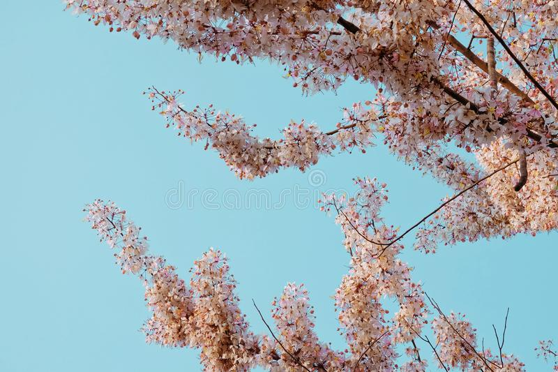 Pink cassia, Pink shower, Wishing tree, Cassia bakeriana Craib. flower blooming with blue sky. stock photography