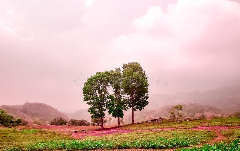 Pink cast with mahogany tress landscape. Green field with pink cast with mahogany tress and grass landscape in a foggy background royalty free stock photos