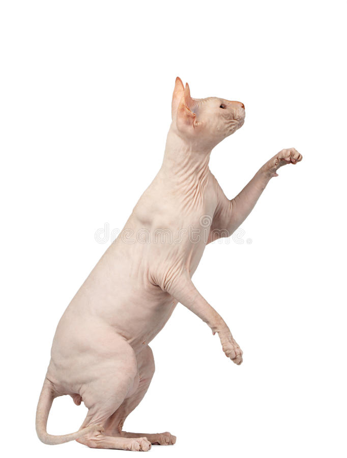 Pink Cat Sphynx Sits and Raising Up Paw Isolated on White. Background royalty free stock photo