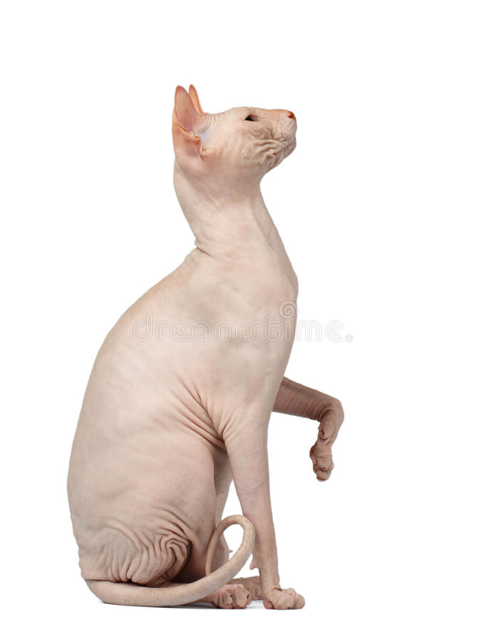 Pink Cat Sphynx Sits and Raising Up Paw Isolated on White. Background stock photos