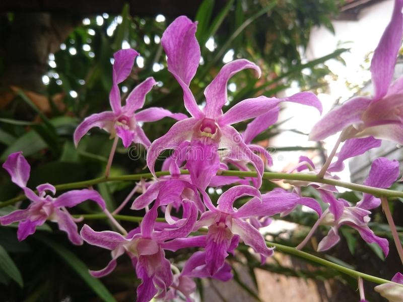 Pink Catleya Orchid royalty free stock photography