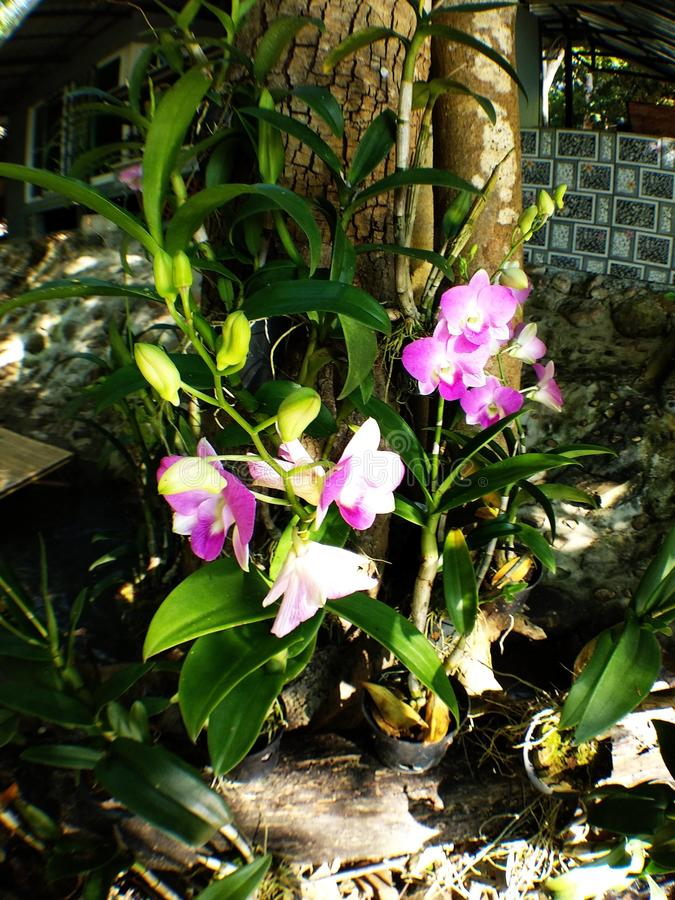 Pink Cattleya orchids royalty free stock photos