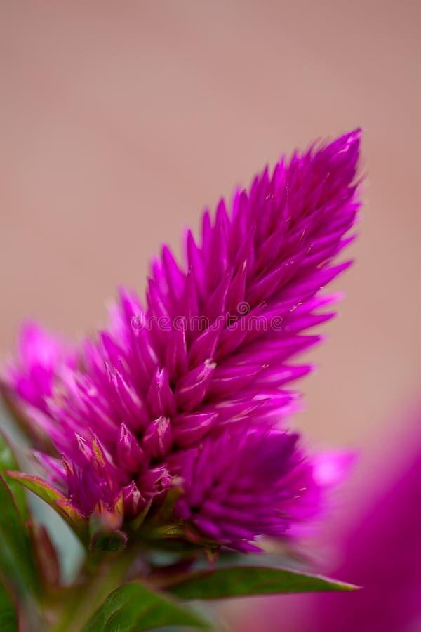 Free Pink Celosia Venezuela Flower Stock Photos - 16227843