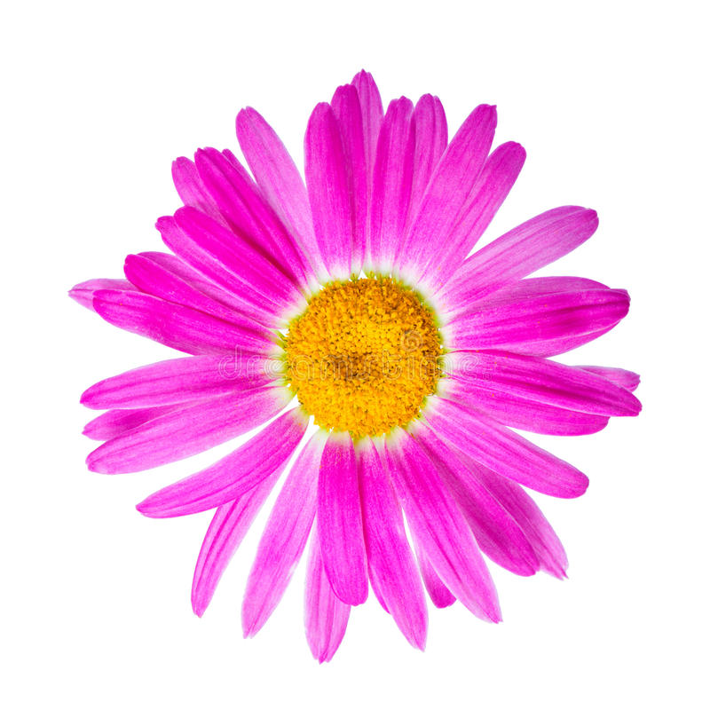 pink chamomile flower is isolated on white background stock photo