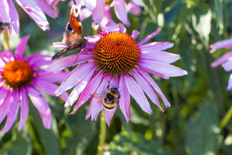 Pink chamomile striped bumblebee and a butterfly of chocolate color. stock photo