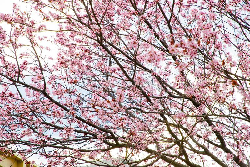 Pink cheery blossom stock photos