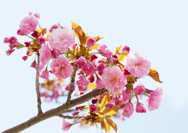 Pink Cherry stock images