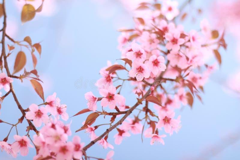 Pink Sakura Blue Sky Royalty Free Stock Images
