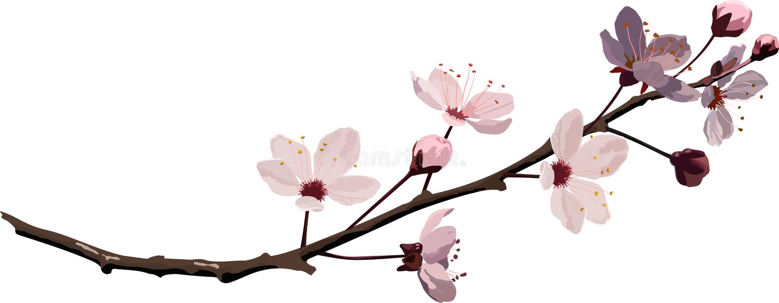 Pink cherry blossom. Isolated in a white background
