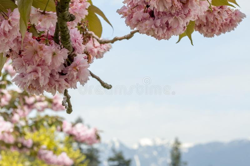 Pink cherry blossom above blurred Vancouver mountains with snow stock photo