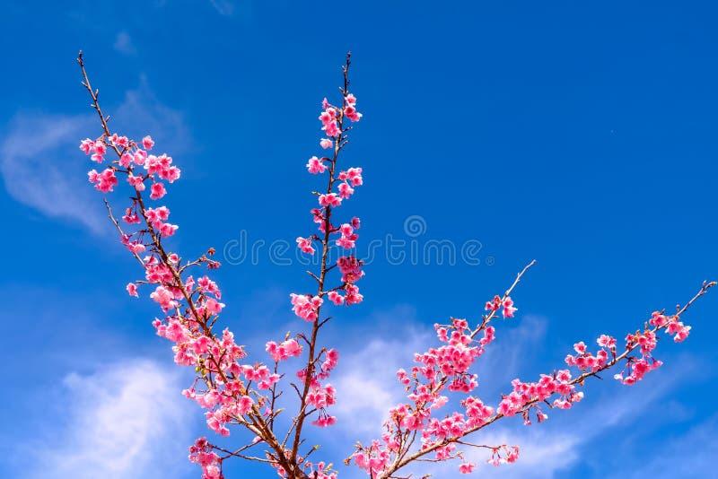 Pink Cherry Blossom Against Blue Sky stock photos