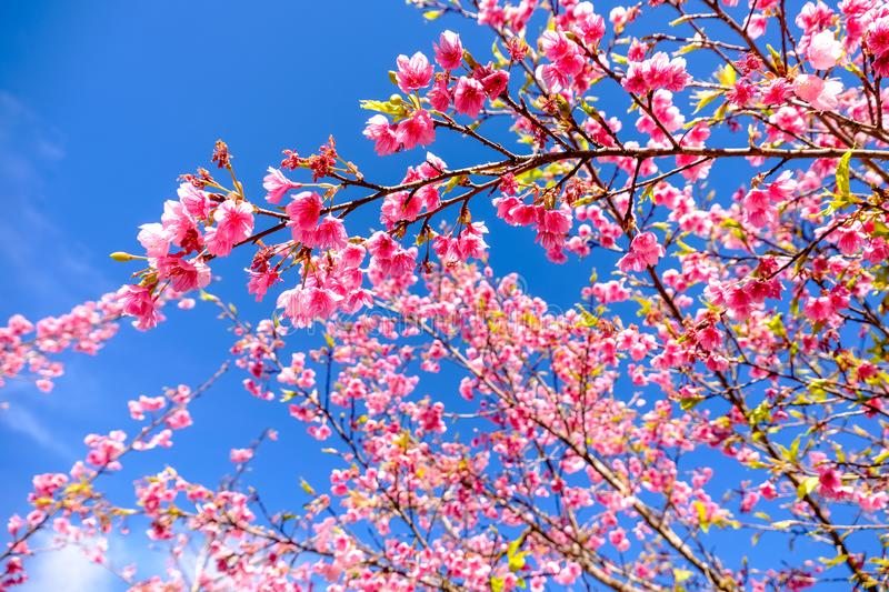 Pink Cherry Blossom Against Blue Sky royalty free stock image