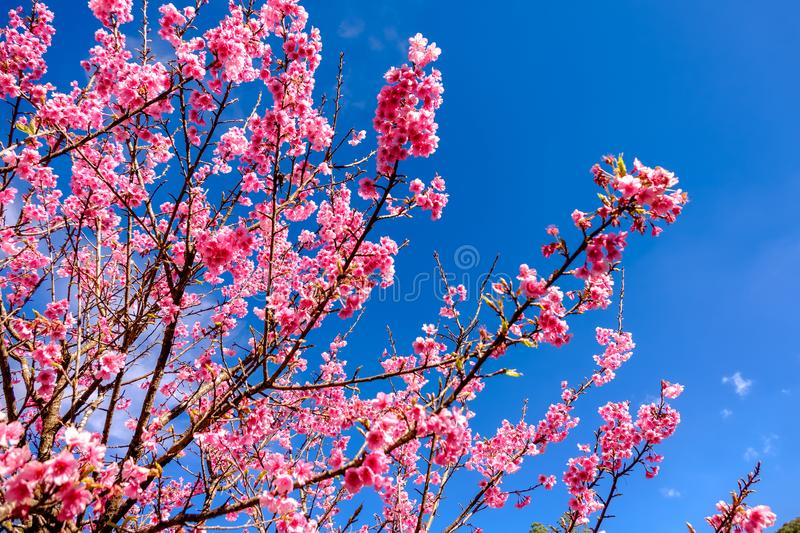Pink Cherry Blossom Against Blue Sky stock images